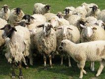 Портрет овец Стоковые Фотографии RF
