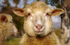 Портрет овец Стоковое фото RF
