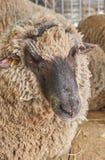 Портрет овец Стоковая Фотография RF