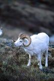 Портрет овец Dalls Стоковая Фотография RF