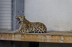 Портрет одичалой пантеры Onca большой кошки ягуара Стоковые Изображения RF