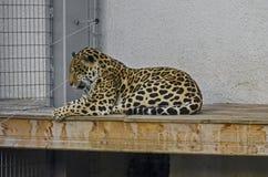 Портрет одичалой пантеры Onca большой кошки ягуара Стоковое фото RF