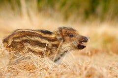Портрет одичалой свиньи, луга травы Молодой дикий кабан, scrofa Sus, бежать в луге травы, красный лес осени в предпосылке, ани Стоковые Изображения