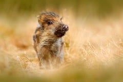 Портрет одичалой свиньи, луга травы Молодой дикий кабан, scrofa Sus, бежать в луге травы, красный лес осени в предпосылке, ани Стоковое фото RF