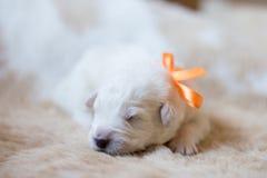 Портрет одного щенка maremma недели старого спать на cow& x27; мех s Сладостный белый щенок выглядеть как медведь стоковое изображение