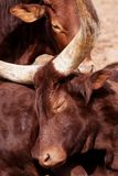 Портрет одной коровы Ankole-Watusi или Watusi стоковые изображения