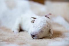 Портрет одной maremmano породы щенка недели собаки старого abruzzese спать на cow& x27; мех s стоковое изображение