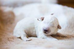 Портрет одной maremmano породы щенка недели собаки старого abruzzese спать на cow& x27; мех s стоковое фото rf