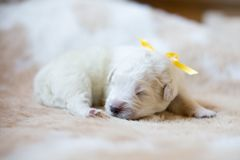 Портрет одной maremmano породы щенка недели собаки старого abruzzese спать на cow& x27; мех s стоковое изображение rf