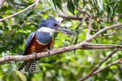 Портрет окруженного kingfisher стоковые фотографии rf