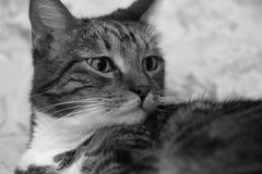Портрет опасливого серого striped кота дома Стоковое Фото