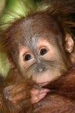 Портрет орангутана младенца Конец-вверх Индонезия Остров Kalimantan & x28; Borneo& x29; стоковая фотография rf