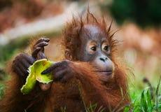 Портрет орангутана младенца Конец-вверх Индонезия Остров Kalimantan & x28; Borneo& x29; стоковые изображения rf