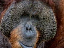 Портрет орангутана стоковые изображения rf