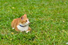 Портрет оранжевого кота Стоковая Фотография