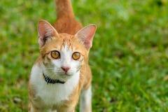Портрет оранжевого кота Стоковые Изображения