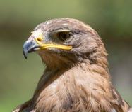 Портрет орла в природе Стоковые Фото