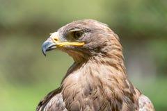 Портрет орла в природе Стоковые Изображения RF