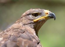 Портрет орла в природе Стоковое Изображение RF