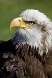 Портрет орла моря Стоковое фото RF