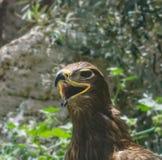 Портрет орла степи Стоковые Изображения RF