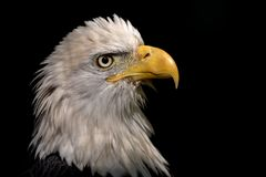 Портрет орла стоковые фотографии rf