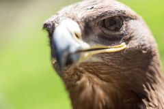 Портрет орла в парке Стоковое Изображение RF