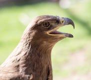 Портрет орла в парке Стоковые Изображения