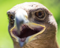 Портрет орла в парке Стоковое Фото