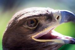 Портрет орла в парке Стоковые Фото