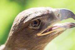 Портрет орла в парке Стоковое Изображение
