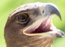 Портрет орла в парке Стоковые Изображения RF