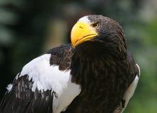Портрет орла моря Steller Стоковое фото RF
