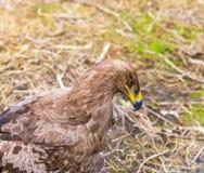 Портрет орла степи Стоковая Фотография RF