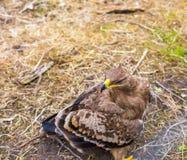Портрет орла степи Стоковое фото RF