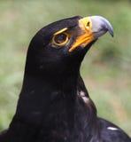 Портрет орла черноты Vereauxs (verreauxii Аквилы) смотря вверх Стоковое Изображение RF