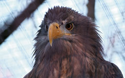 Портрет орла Стоковое Фото