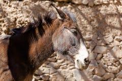 Портрет осла в морокканской деревне Стоковые Фотографии RF