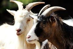 Портрет отечественной козы 2 стоковое изображение