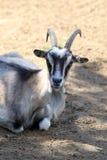 Портрет отечественной козы Стоковые Фотографии RF