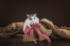 Портрет отечественной крысы Стоковое фото RF