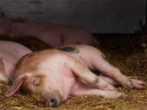 Портрет отечественный лежать спать свиньи на кровати соломы Стоковое фото RF