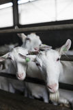 Портрет 2 отечественных белых коз в конюшне Стоковые Изображения RF