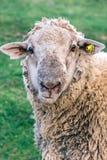 Портрет отечественных овец Стоковая Фотография RF