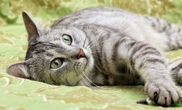 Портрет отдыхая конца кота вверх, конец кота зеленых глаз вверх, только сторона, красивый серый кот Стоковые Фотографии RF