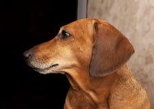 Портрет охотничьей собаки Стоковая Фотография RF