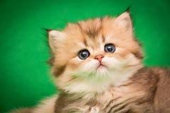Портрет очаровательного маленького пушистого золотого котенка с розовым носом стоковая фотография rf