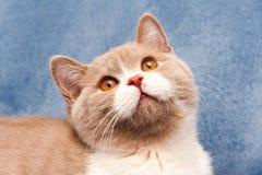Портрет очаровательной великобританской сирени цвета кота bicolor с оранжевыми глазами стоковая фотография rf