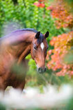 Портрет лошади Брайна на красочной предпосылке природы Стоковое фото RF