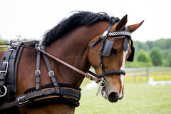 Портрет лошади вытягивая экипажа в лете Стоковое Изображение